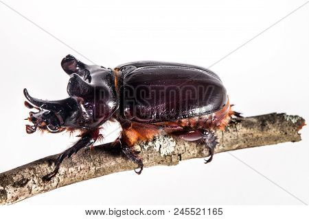 Ox Beetle - Strategus Aloeus, A Species Of Rhinoceros Beetle On Branch Isolated On White Background