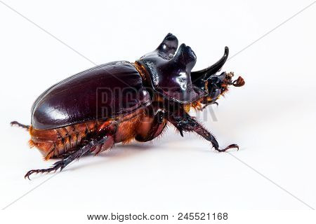 Ox Beetle - Strategus Aloeus, A Species Of Rhinoceros Beetle Isolated On White Background