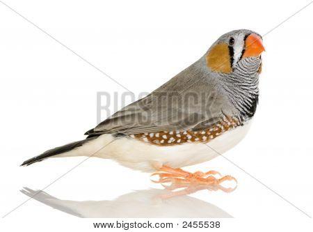 Zebra Finch - Taeniopygia Guttata