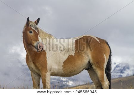 Pinto Ranch Horse Standing In Grassy Pasture With Snow, Wyoming Mountains, Clouds
