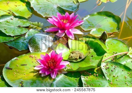 Frog In The Pond On The Leaves Next To The Water Lilies