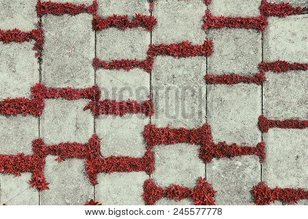 Retro Background Of Concrete Tiles With Red Plants. Carmine Herbs In Paving Slab Joints, Vintage Sty
