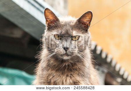Scary Cat Dangerous Look Portrait Close Up
