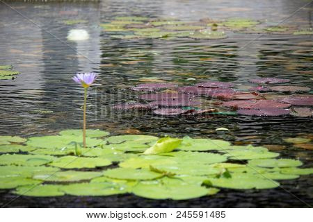 Floating 1 Beautiful Light Purple Lotus Flower In The Pond With The Rocks On The Ground