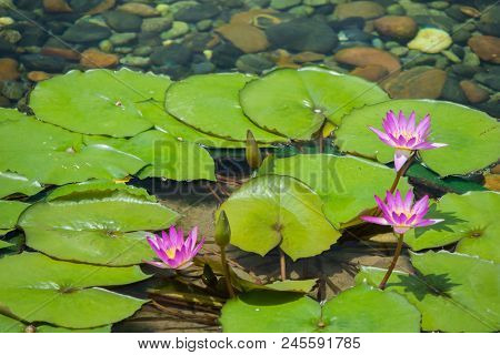 Float 3 Pinks Lotus Flower In The Pond With The Rocks On The Ground