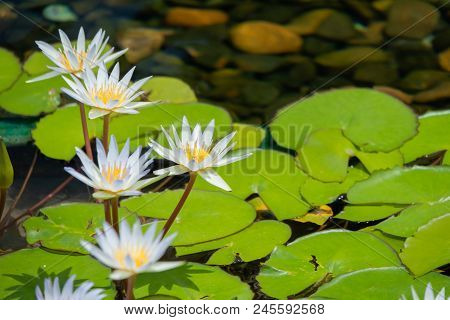 Floating Whites Lotus Flower In The Pond With The Rocks On The Ground