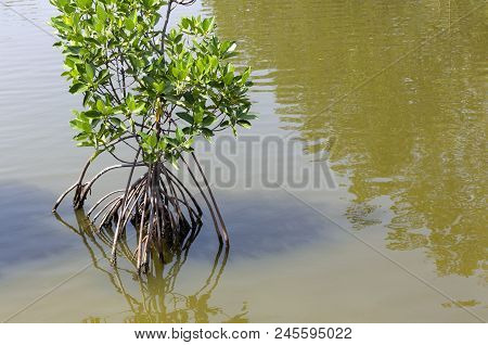 Mangrove Planting At The Coastline. Mangrove Trees Are Trees That Are Grown As Food Sources Of Coast