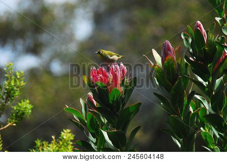A Beautiful Scene In Nature. A Close Up Of A Cape Silver-eye Perched On A Lovely King Protea Near Ca