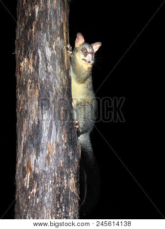 A Common Brushtail Possum (trichosurus Vulpecula) Climbing A Tree In Victoria, Australia.