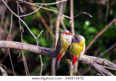 A Pair Of Red-browed Finches (neochmia Temporalis) Perched On A Tree Branch And Looking At Each Othe