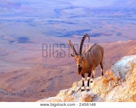 Mountain Billy-Goat