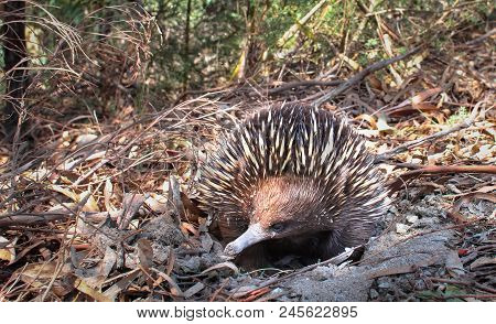 An Adult Short-beaked Echidna (tachyglossus Aculeatus) Hiding In A Sandy Hole As A Defensive Strateg