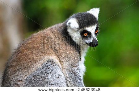 An Adult Ring-tailed Lemur (lemur Catta) Contemplates Life.