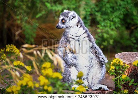 An Adult Ring-tailed Lemur (lemur Catta) Sitting On The Ground.