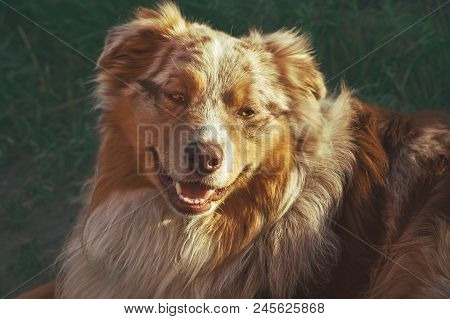 Portrait Of A Pedigree Stately Dog Smiling Australian Shepherd Purebred Ginger Aussie.