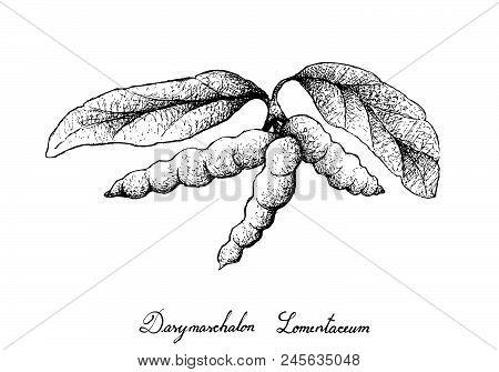 Tropical Fruit, Illustration Of Hand Drawn Sketch Dasymaschalon Lomentaceum Fruits Hanging On Tree B