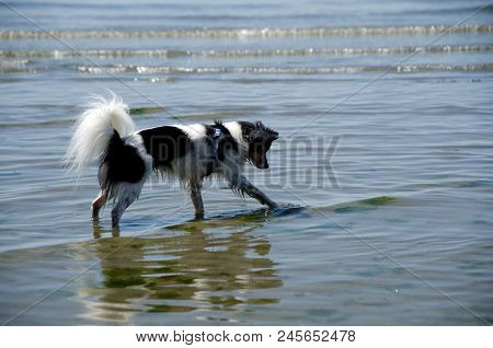 Papillon Exploring Low Tide New Shoreline With Lazy Surf In Background
