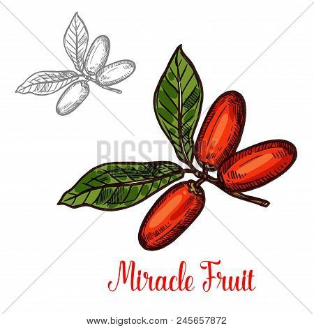 Miracle Fruit Branch Sketch Of Exotic African Berry. Ripe Red Fruit On Twig With Green Leaf Isolated