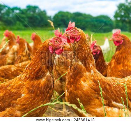 chicken on green grass / nature