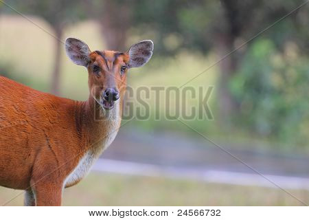 barking deer eating food ,grass and looking to camera poster