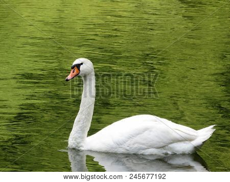 White Swan Swimming In A Summer Pond. Graceful Swan On Beautiful Green Water Surface
