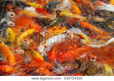 Beautiful Fancy Carp Or Koi Fish Are Swimming In The Pond