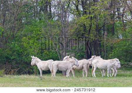 Several White Donkeys Standing In Green Grassland