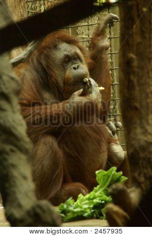 Orangutan Female Having Lunch