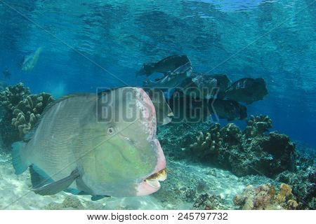 Bumphead Parrotfish. Fish on coral reef