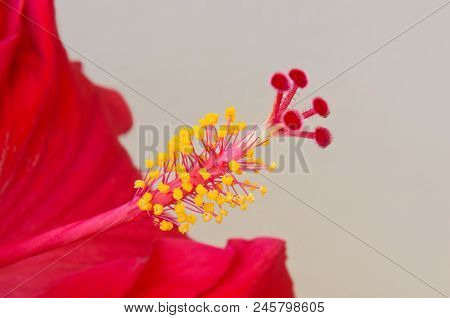 Closeup Of Hibiscus Rosa Sinensis Flower Revealing Male And Female Reproductive Organs Stamen And Pi