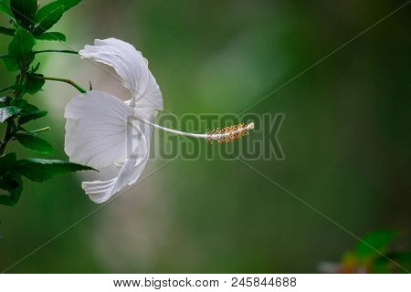 Angiosperms,hibiscus Flower,spring Background,flowers,nature,spring,macro,shoe Flower,angiosperms,ba