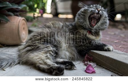 Beautiful Persian Tricolor Cat Yawning While Laying