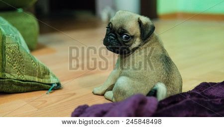 Pug Dog Waiting For A Permission To Eat Cheese On The Kitchen. Training Patience. Hungry Pug Dog Pup