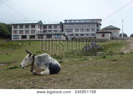 Cows Resting At The Tengboche Monastery, Everest Base Camp Trek, Nepal