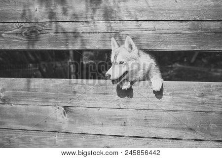Aviary In The Zoo. Pet And Animal, Siberian Husky, Dog Year. New Year, Christmas, Xmas. Year Of Dog,