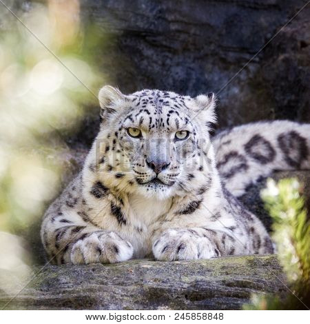 Attentive snow leopard keeps a watchful eye through the foliage.