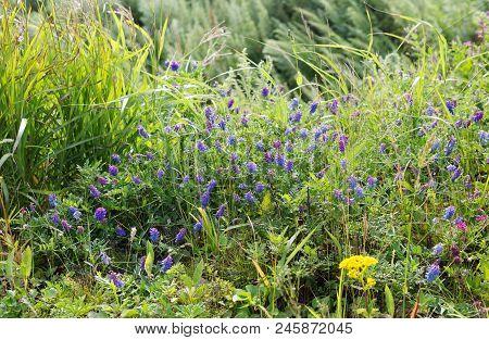 Summer View Of Blooming Wild Flowers In Meadow.  Wild Flowers And Grass In A Meadow Nature.