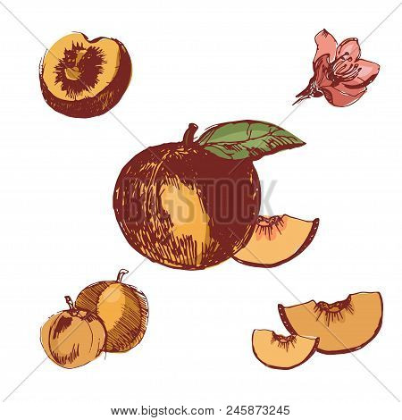Peach Color Illustration. Ink Hand Drawn Set Of Peach, Isolated On The White Background.detailed Veg