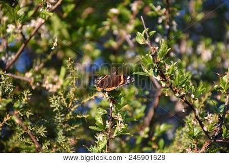 Sunny Beautiful Admiral Butterfly Among Blossom Twigs