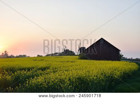 Blossom Rapeseed Field By Sunset At The Swedish Island Oland