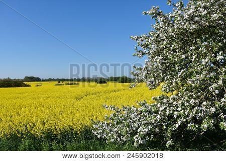 Blossom Apple Tree By A Yellow Canola Field At The Swedish Island Oland