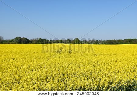 Springtime With A Blossom Canola Field At The Swedish Island Oland