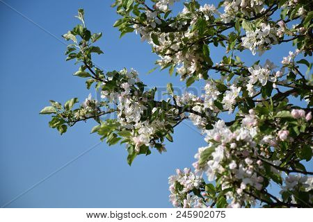 Blossom Apple Tree Branches By A Blue Sky