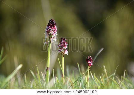 Beautiful Growing Burnt Orchids, Orchis Ustulata, In A Low Angle View At The Swedish Island Oland