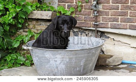 A Black Labrador Dog Sitting In A Metal Bath Tub Bucket With Tennis Ball Ready And Challenging To Pl