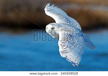 Snowy Owl In Flight Over Blue Water