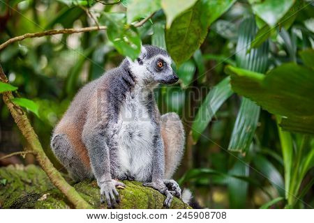 Close Up Ring-tailed Lemur Catta Sitting In Zoo