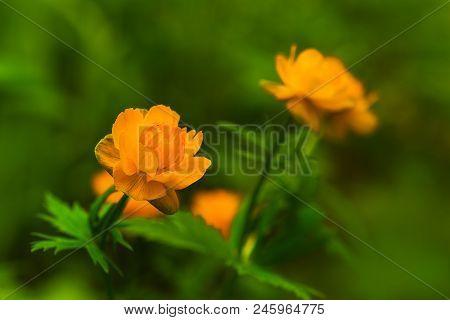 Flowering Of Orange Buds Of Trollius In Early Summer
