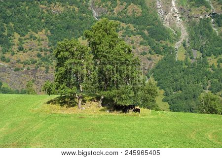 Grass Pasture On Mountain Landscape In Flam, Norway. Cows Under Green Tree On Grassy Meadow On Sunny