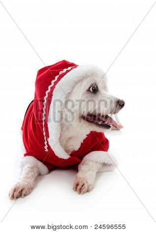 Small cute white pet dog wearing a warm and cosy red hooded outfit. Looking sideways at your message. White background. poster